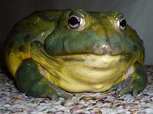 African Bull Frog